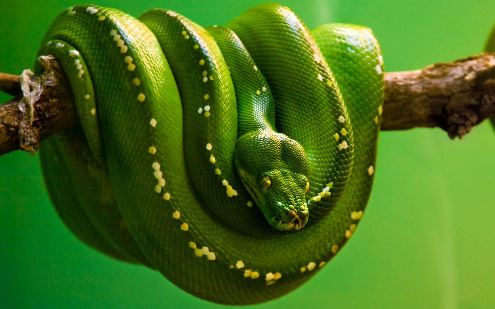 Píton-Verde-Arborícola 3