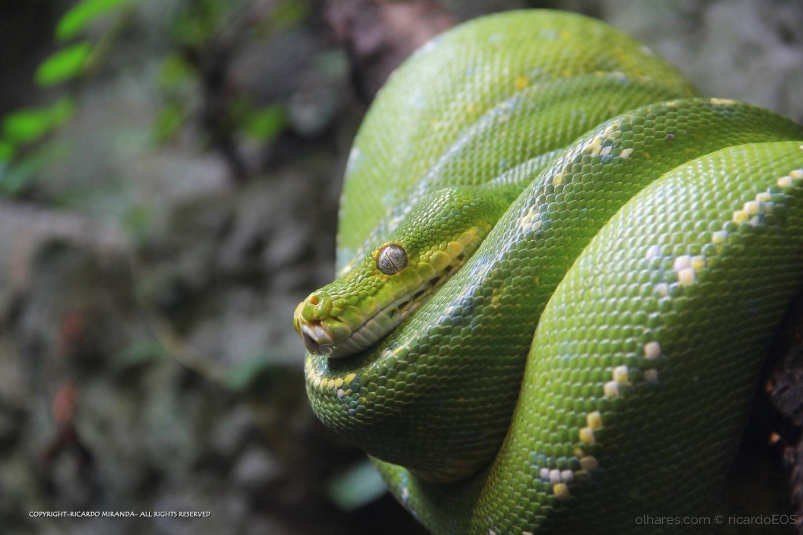 Píton-Verde-Arborícola 6