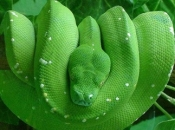 Píton-Verde-Arborícola 1