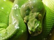 Píton-Verde-Arborícola 4