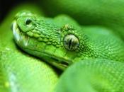 Píton-Verde-Arborícola 5