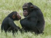 Primatas 16