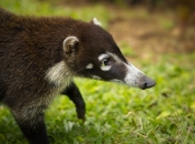 White-nosed coati 4