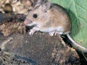 Rato do Campo 3