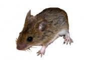 Rato do Campo 5