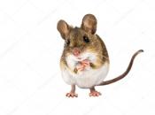 Rato do Campo 9