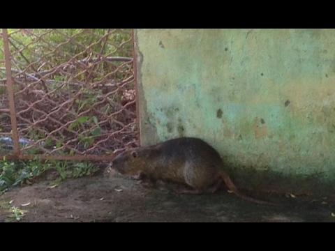 Rato Gigante1