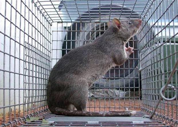 Rato Gigante2