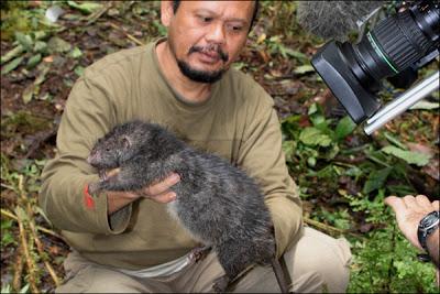 Rato Gigante3