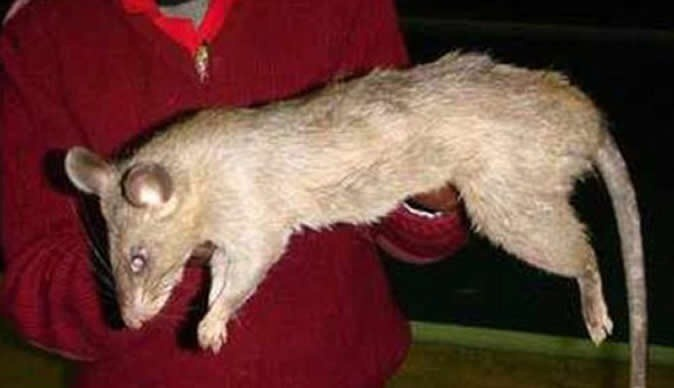 Rato Gigante4