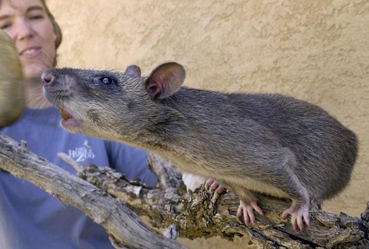 Rato Gigante13