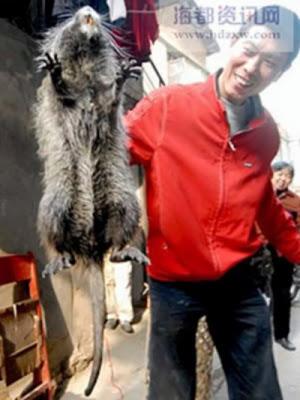 Rato Gigante14