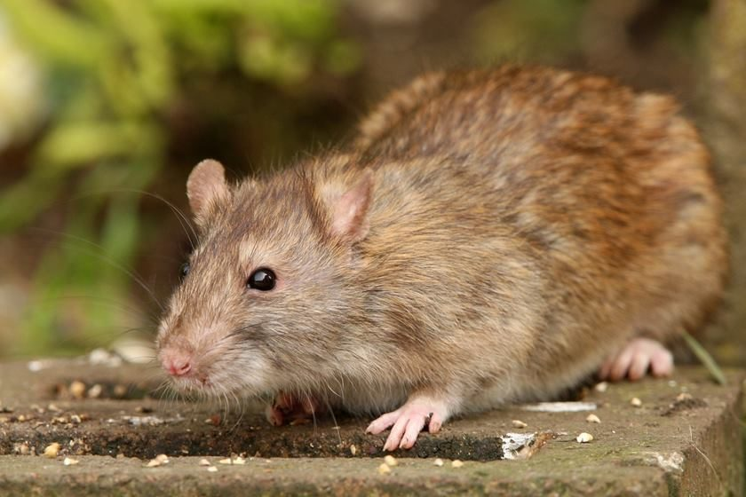 Rato Gigante18