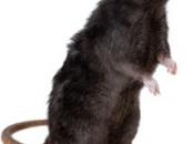 Rato Preto3