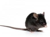 Rato Preto5
