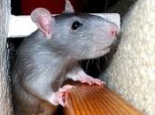 Rato Preto  2