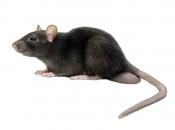 Rato Preto  3