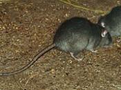 Rato Preto  4