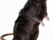 Rato Preto  5