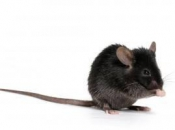 Rato Preto  10