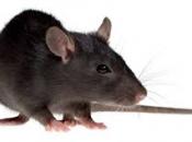 Rato Preto  11