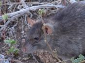 Rato Preto  12