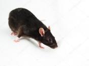 Rato Preto  8