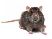 Rato Preto  9