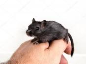 Rato Preto  13
