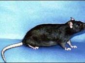 Rato Preto 14