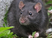 Rato Preto15