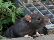 Rato Preto17