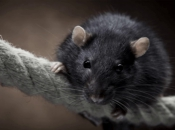 Rato Preto18