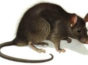 Rato Preto19
