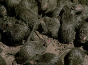 Rato Preto22