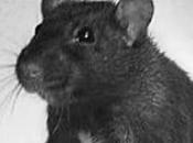 Rato Preto23