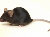 C0018187 Black mouse