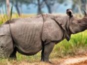 Rinoceronte-de-java 1