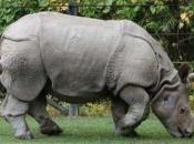 Rinoceronte-de-java 10