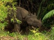 Rinoceronte-de-java 11
