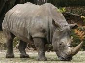 Rinoceronte-de-java 12