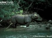 ARKive image GES111402 - Javan rhinoceros