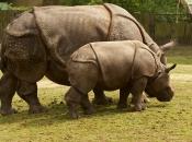 Rinoceronte-de-java 5