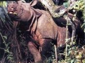 Rinoceronte-de-java 6