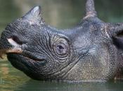 Rinoceronte-de-java 7
