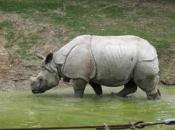 Rinoceronte-de-java 8