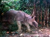 ARKive image GES009227 - Javan rhinoceros