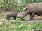 Rinoceronte-de-sumatra 1