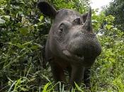 Rinoceronte-de-sumatra 10