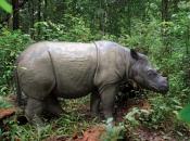 Rinoceronte-de-sumatra 11